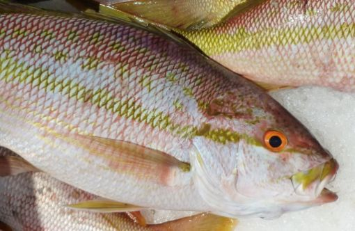 Picture of Caribbean Waters Snapper Fish