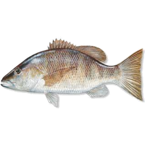 Picture of Grey Snapper (per Kg)